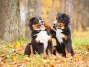 Zwei Berner Sennenhunde spielen miteinander am Waldrand