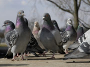 Pigeons sauvages